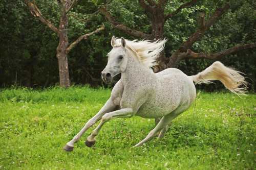 This image shows a arabian horse in action